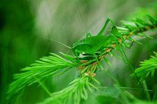 Free Grasshoper On A Fir Branch Royalty Free Stock Photo - 3421035
