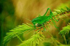 Free Grasshoper On A Fir Branch Stock Photo - 3421040