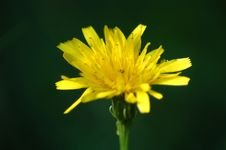 Free Yellow Flower Royalty Free Stock Images - 3421079