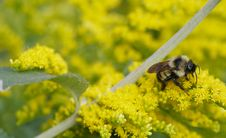 Bumble Bee On Goldenrod Royalty Free Stock Photo