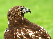 Free Hawk Royalty Free Stock Photo - 3421785