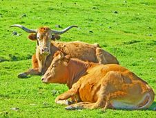 Free Texas Longhorns Royalty Free Stock Images - 3421949