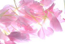 Free Pink Petals Stock Image - 3423341