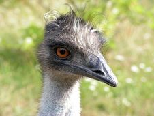 Free Ostrich Royalty Free Stock Photography - 3424787