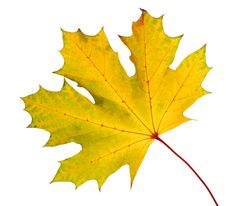 Free Maple Leaf Royalty Free Stock Photography - 3425187