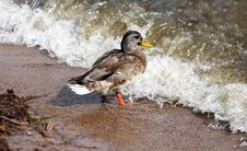 Free Duck Royalty Free Stock Photography - 3425557