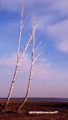 Dry Trees Royalty Free Stock Image