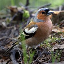 Free Chaffinch Stock Photography - 3426162
