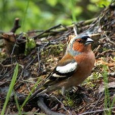 Free Chaffinch Royalty Free Stock Photo - 3426195