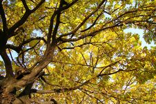 Free Autumn Oak Royalty Free Stock Images - 3426629