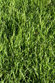 Free Green Lawn Royalty Free Stock Photography - 3426817