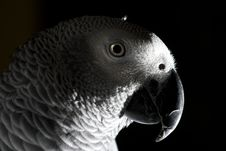 The African Grey Parrot Royalty Free Stock Photos