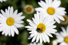 Free Flower Daisy And A Bee Stock Photos - 3427813
