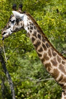 Free Giraffe Eating Royalty Free Stock Photography - 3428327