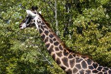 Free Giraffe Royalty Free Stock Image - 3428336
