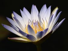 Free White Nymphaea Royalty Free Stock Photography - 3428347