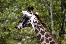 Free Close Up Giraffe Royalty Free Stock Photos - 3428348