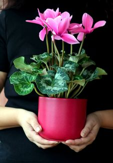 Free Cyclamen Plant Care Royalty Free Stock Photos - 3429158