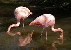 Free Pink Flamingos Stock Photo - 3429550