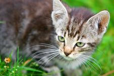 Kitten In The Grass Stock Photography