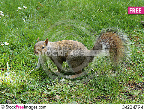 Free Grey Squirrel. Stock Images - 34204794