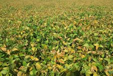 Free Soybean Field Background Stock Image - 34202001