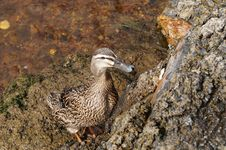 Lonesome Duck Royalty Free Stock Photography