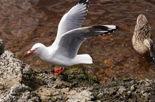 Wild Tasmanian Duck And Seagull Stock Image