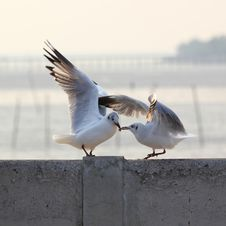 Free Seagulls Fighting Stock Photography - 34203192