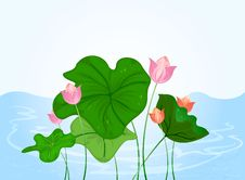 Free Water Lily Stock Images - 34204084