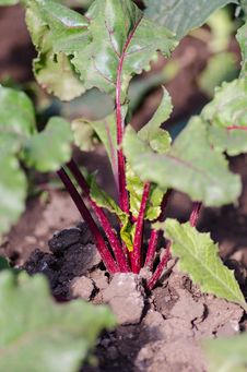 Free Boltardy Beetroot Plant Stock Photography - 34205052