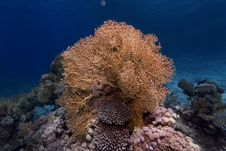 Free Underwater Photograph : Fire Coral Royalty Free Stock Photography - 34210977