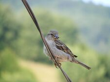 Free Sparrow Stock Photography - 34213222