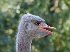 Free Ostrich Royalty Free Stock Photo - 34213325