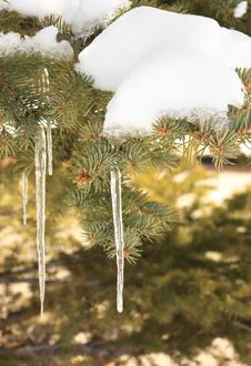 Free Spruce Icicle Stock Photography - 34234562