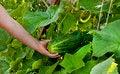 Free Cucumber Stock Photos - 34258043