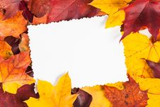Autumn Maple Leaf Isolated On White Background Stock Photography