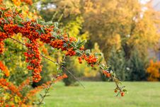 Free Orange Mountain Ash In Autumn Park Royalty Free Stock Photos - 34257838