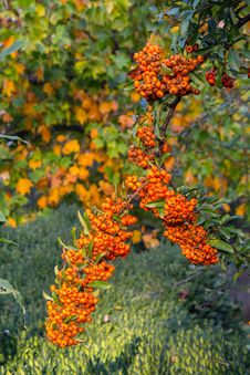 Free Mountain Ash On Autumn Background Royalty Free Stock Images - 34257839