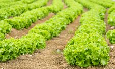 Free Lettuce Field Royalty Free Stock Photos - 34258978