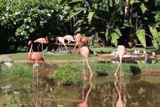 Free Flamingos Stock Photography - 34259942
