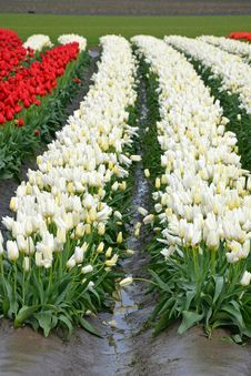 Free Rows Of Red And White Tulips Stock Photos - 34273343
