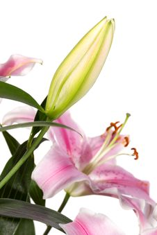 Free Bud Of Pink Lily Flower Royalty Free Stock Image - 34274136