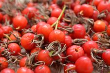 Free Dry Berries Of Dogrose Stock Image - 34277621