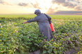 Free Gardener Spraying Potatoes Stock Photo - 34280660
