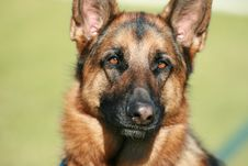 Free German Shepherd Dog Stock Images - 34282234