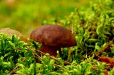 Bay Bolete. Stock Photo