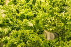 Free Green Lettuce - Background Stock Image - 34282951