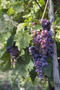Free Grapes Stock Images - 34294694