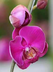 Free Close-up Of Pink Orchid Stock Images - 34296604